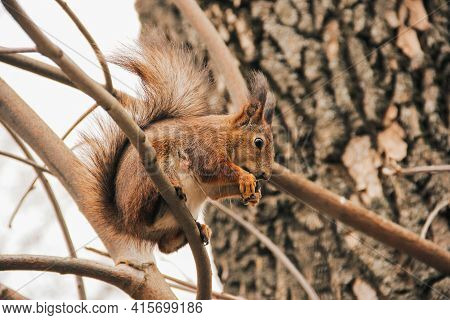 Sciurus. Rodent. A Squirrel Sits On A Tree And Eats. Beautiful Squirrel In The Park