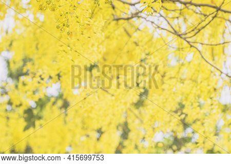 Selective Focus Cassia Fistula National Flower Of Thailand Golden Shower Tree. Golden Shower Flowers