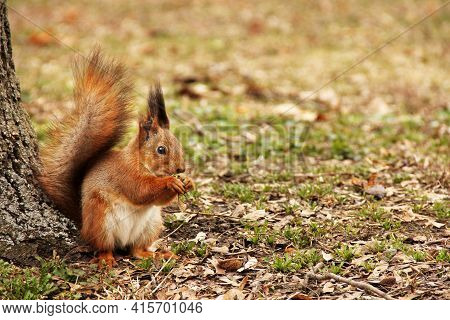 Sciurus. Rodent. The Squirrel Sits In The Park And Eats