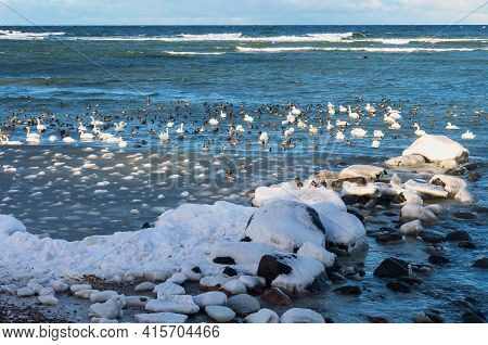 A Seascape In Winter. Seagulls, Ducks And Swans In The Baltic Sea. Flocks Of Waterfowl In Winter At