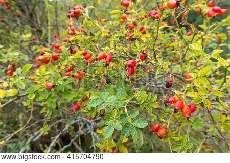 The Red Berries Of Wild Rose Hips. Medicinal Berries. Rosa Canina. Wild Rose. Hip Bush.