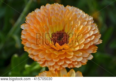 Calendula, Or Marigold, Is A Genus Of Herbaceous Plants Of The Astro Family.