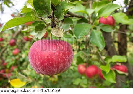Fresh Red Juicy Apples In Organic Eco-friendly Garden. Close Up Apple On A Branch On A Tree. Branch