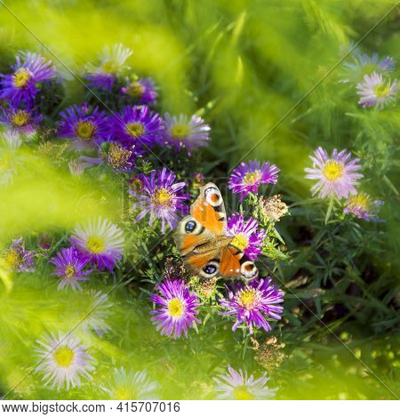 Monarch Butterfly On Purple Aster Flowers In Late Summer. Grass Skipper Butterfly On Aster Flowers.