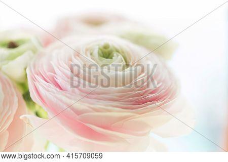 Beautiful Soft Tender Background Of Cream Ranunculus Flower Petals Close Up. Floral Wallpaper Textur