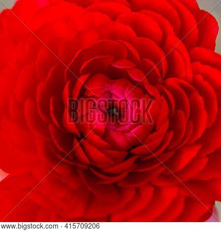 Beautiful Soft Tender Background. Red Ranunculus Flower Petals Close Up. Soft Floral Wallpaper