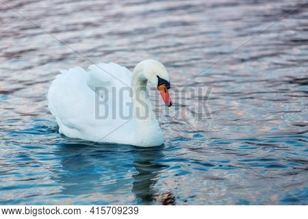 White Swan In On Blue Water. Beautiful Reflections And Glare Of Sunlight On The Water. Waterfowl Clo