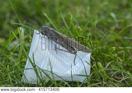 Wild Locust Living On Discarded Plastic Glass Garbage, Animal Habitat Pollution