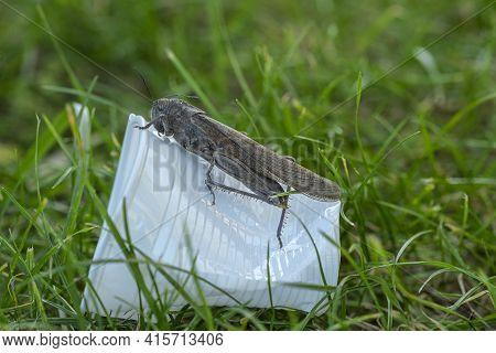 Wild Locust Living On Discarded Plastic Glass Garbage, Animal Habitat Pollution