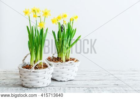 Happy Easter Daffodil Flowers Pots. Spring Yellow Flowers Daffodils In Baskets On White Wooden Table