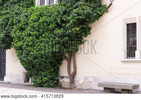 Ivy Tree Weaves Along The Wall. A Very Dense Wicker Plant Against The Wall.