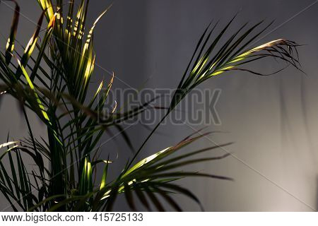Golden Cane Palm Tree With Lush Leaves In Pots Indoor Next To White Wall With Contrasty Sunshine Fro