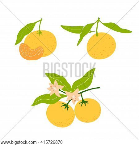 Set Mandarin's And Tangerine On A Branch Isolated On White Background. Natural Tropical Citrus. Vega