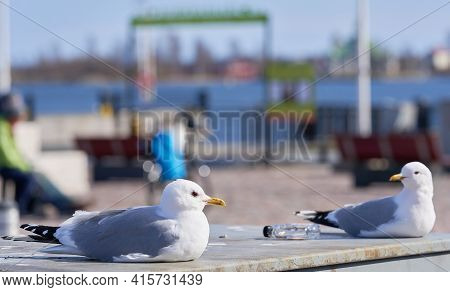 Two Common Gulls Sitting And Staring Each Other With A Small Bottle Of Booze Between Them