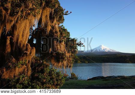 Nature of Chile, Pucon, Spanish moss hanging from tree, Snowy cone of Villarrica volcano and lake Villarrica in evening light, blue sky