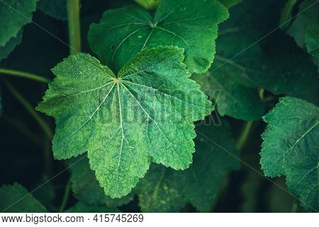 Minimalist Nature Background With Green Leaves With Veins In Sunlight. Beautiful Minimal Backdrop Wi