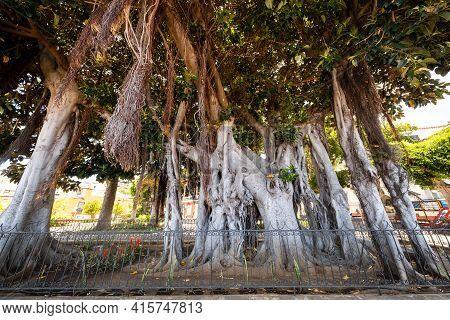 Icod De Los Vinos , Tenerife, Islas Canarias, Gran Rbol De Ficus En El Jard N Bot Nico