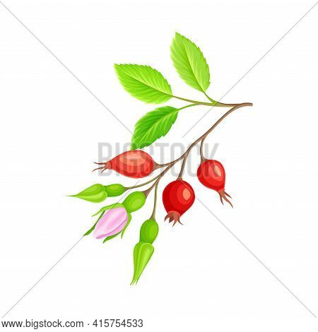 Pink Flower Buds Of Rosa Canina Or Dog Rose Plant Specie With Mature Red Rose Hips Vector Illustrati