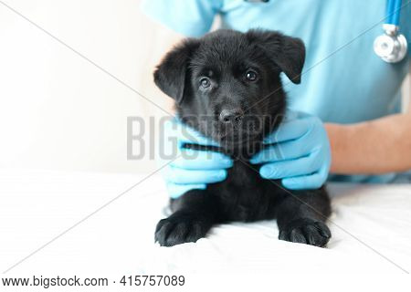 Adorable Cute Black Puppy At Hands Vet In Hospital With Doctors Looking At Camera. Veteriner Man Hol