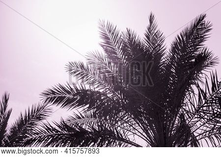 Tropical Tourism Paradise Palms In Sunny Summer Sun Pink Sky. Sun Light Shines Through Leaves Of Pal