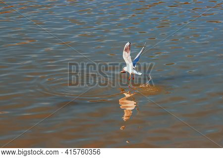 A Seagull Flies Just Above The Surface Of The Pond And Catches Fish. His Image Is Reflected In The W