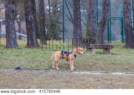 A Beautiful Burly Dog American Pit Bull Terrier Stands On The Road. He Is Wearing A Harness With A L