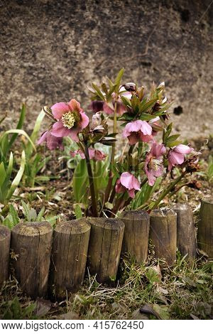The Hellebore Flower Grows Behind A Wooden Curb And A Concrete Wall Is In The Background