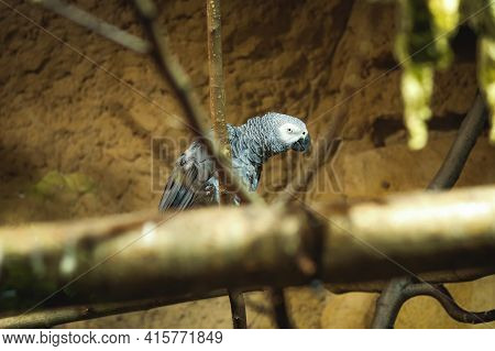 Congo Gray Parrot Laughs All Round. Congo African Gray Parrot Is In A Good Mood And Shakes His Head