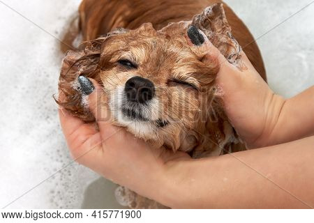 The Hands Of A Young Girl Are Carefully Washed By A Red Dog In A White Bath. The German Spitz Owner