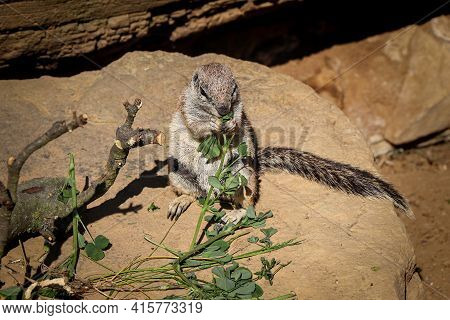 Portrait Of European Ground Squirrel Standing On Hind Paws Holding Vegetable Salad With Paws And Eat