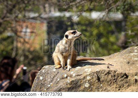 Meerkat Standing Like A Statue On Its Hind Legs Defending Its Territory. Suricata Suricatta On Guard