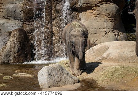 Portrait Of An Asian Elephant Cub On A Beautiful Sunny Day Next To A Waterfall. The Young Elephas Ma