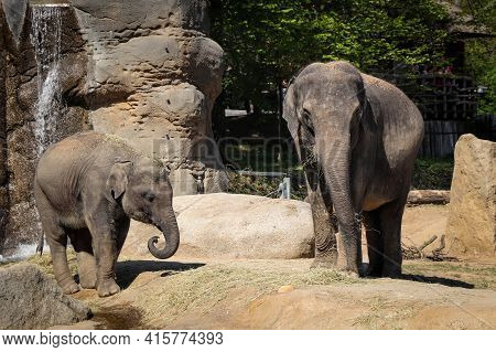 Asian Elephant Mother With Her Baby Eating Straw In Their Paddock. Happy Family Elephas Maximus. A B