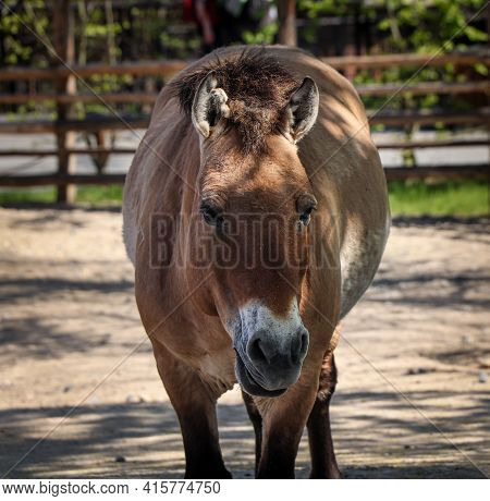 Portrait Of Mother Equus Przewalskii Walking Into Paddock In National Park. The Last Wild Species Of