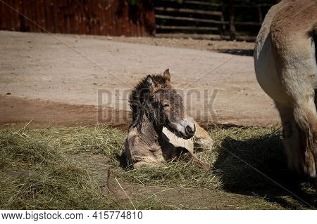 Portrait Of A Young Equus Przewalskii Resting In The Shade On The Grass. The Last Wild Species Of Ho