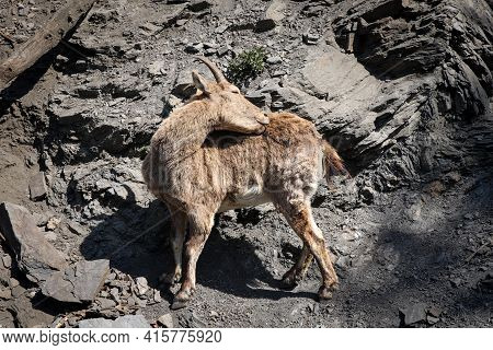 Alpine Mountain Sniff And Climber Alpine Ibex Scratches And Washes Dirty Hair At The Same Time. Four