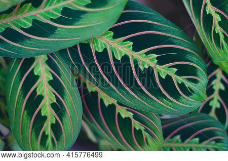 Exotic Plants Background, Jungle Leaf Wallpaper, Floral Tropical Pattern Background. Red Stripe Pray
