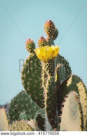 Cactus Flower As Retro Vintage Background.  Prickly Pear Cactus In Pastel Tone