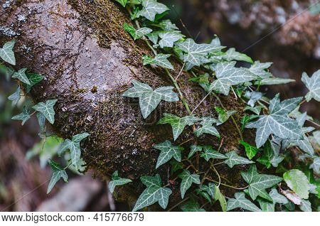 Ivy Plant Climbing At The Tree Among The Moss. Tendrils Adhering To The Trunk. Forest Vegetation, Da