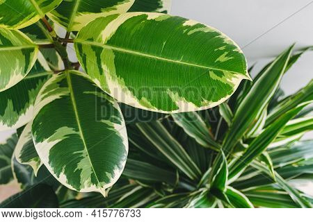 Green Leaves Of Indoor Plants, Close Up. Houseplants As Oxygen Sources With Health Benefits. Gardeni