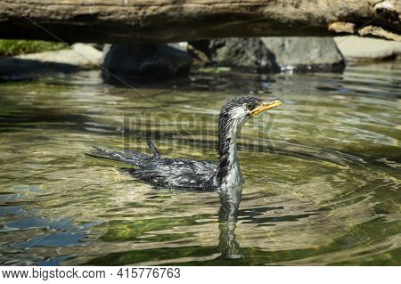 Wet Little Pied Cormorant With A Yellow Beak Swims In A Small Pond And Drifts Through The Current. M