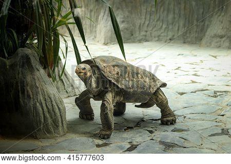 Huge Pinzon Island Giant Tortoise Walking Along Its Paddock, Looking For Tasty Leaves To Eat. Chelon