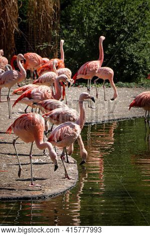 American Flamingo Group Has Gathered By The River And Are Drinking. The Red-pink Phoenicopterus Rube