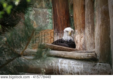 Bald Eagle Hidden In A Wooden Nest And Looks Carefully And Protects Its Territory. Nicest Haliaeetus