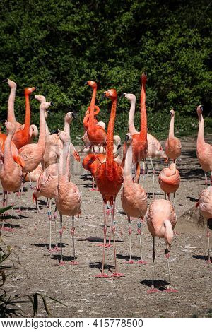 Group Of Beautiful Red-pink American Flamingo Birds Walking Near A Lake. Phoenicopterus Ruber With L