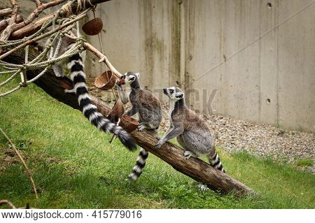 Young Ring-tailed Lemur Sits Attentively Behind Its Mother, Waiting To See If They Need A Good Piece
