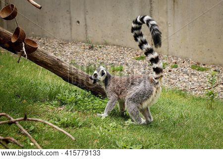 Young Ring-tailed Lemur Tries To Annoy Its Older Sibling To Some Chase Or Battle. Restless Teenager