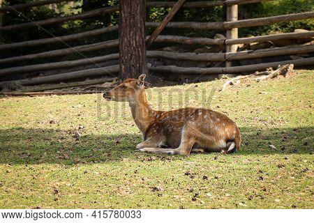 Most Endangered Species Of Deer Vietnamese Sika Deer. Cervus Nippon Pseudaxis Rests In The Shade Aft