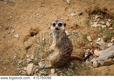 Beautiful And Fun Animal Meerkat. Suricate Is A Small Mongoose. A Smile On His Face And A Perceptive