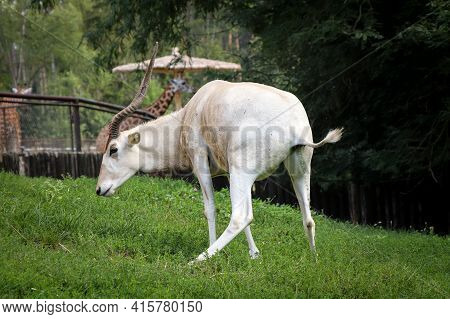 Rare Addax Nasomaculatus When Performing The Need. White Antelope Pees. Screwhorn Antelope At A Deli